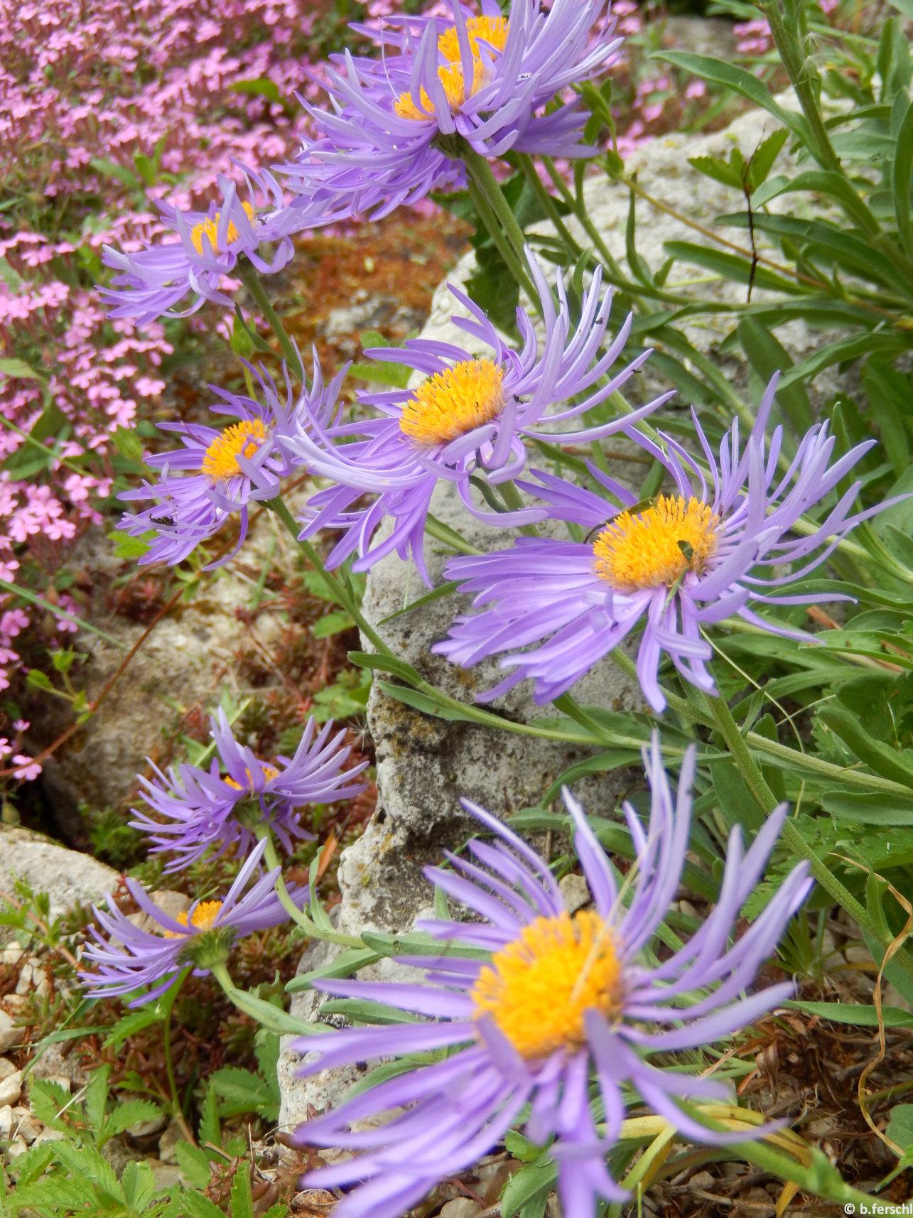 Alpesi őszirózsa (Aster alpinus)