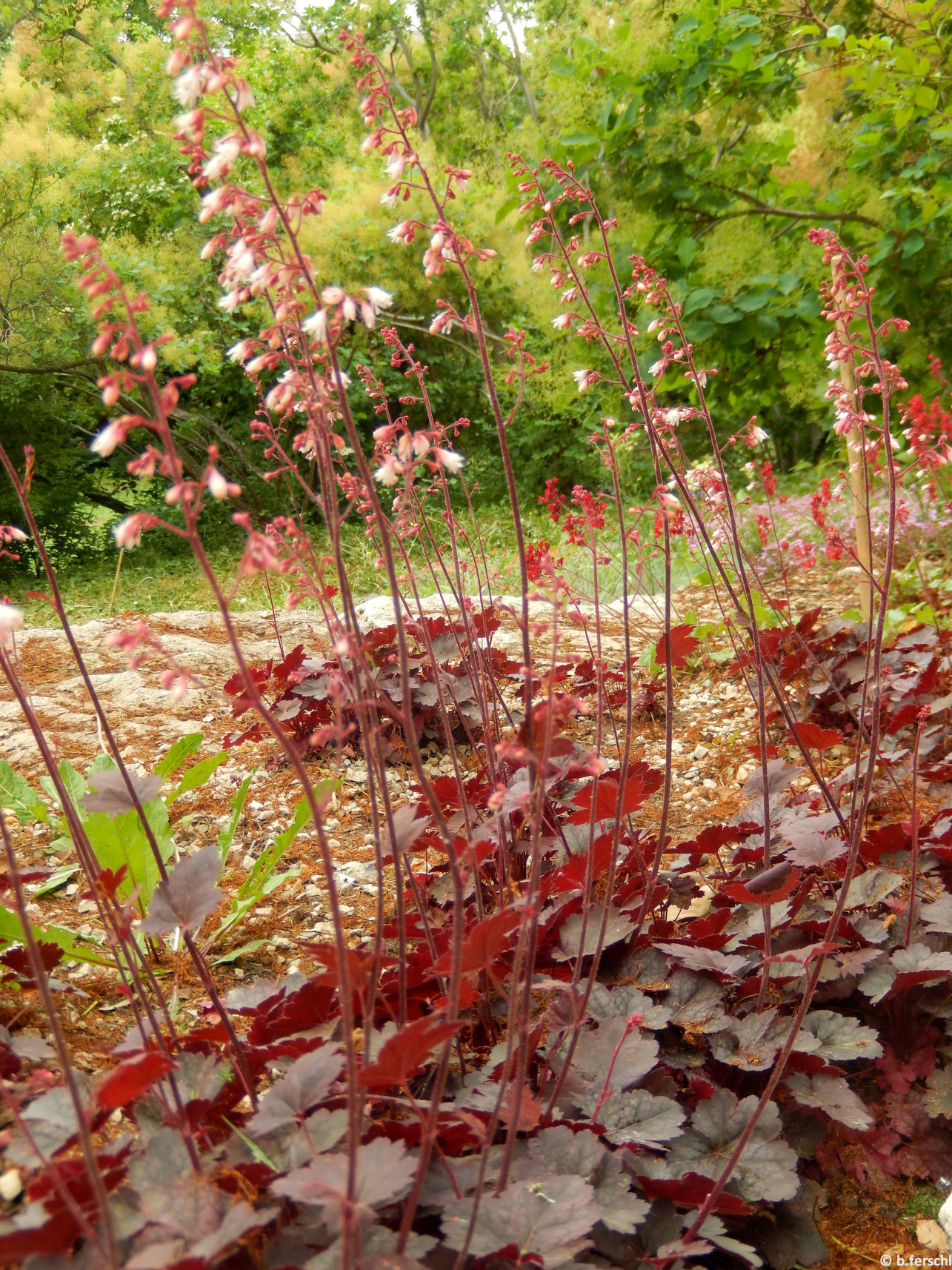 Tűzeső (Heuchera sp.)