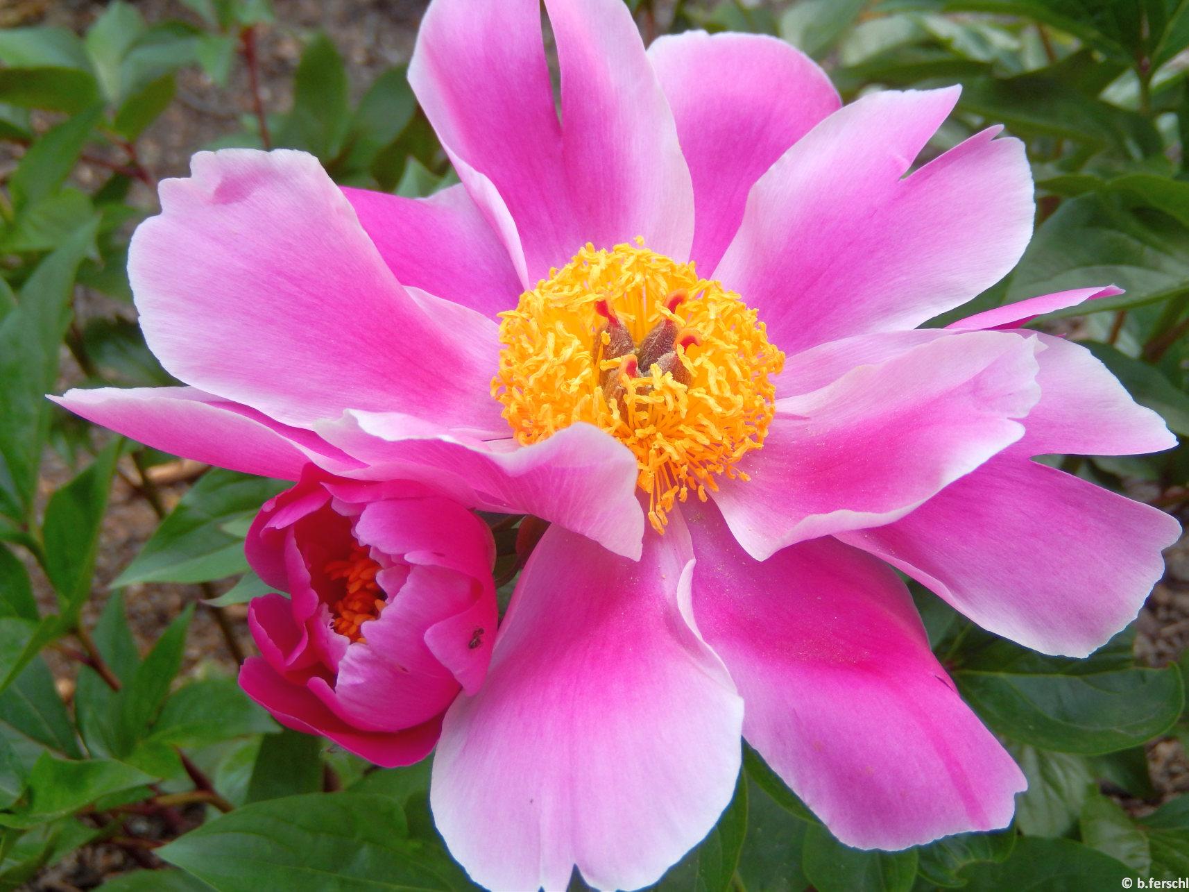 Kései bazsarózsa (Paeonia lactiflora)