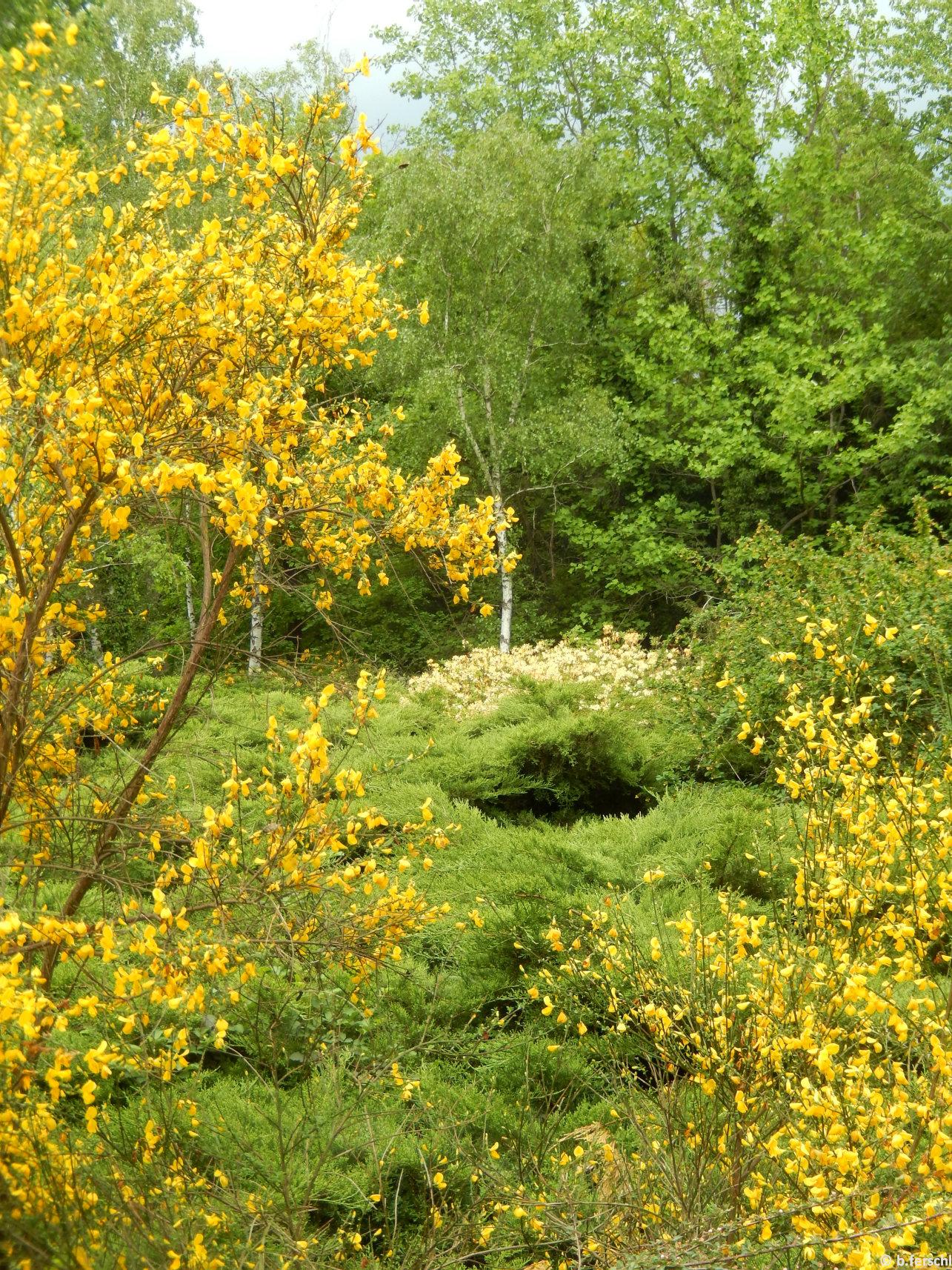 A havasszépék mellett zanótok is bőven ontják sárga virágaikat májusban