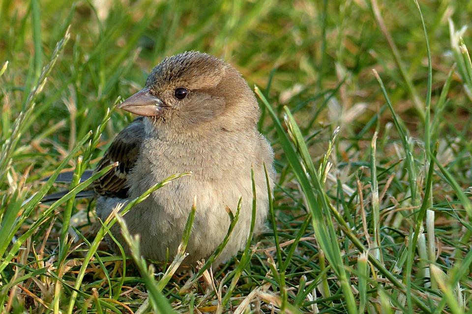 sparrow-818149_960_720.jpg