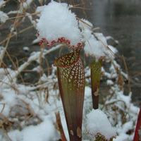 Sarracenia télen.