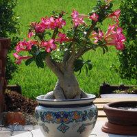 Adenium - Sivatagi rózsa