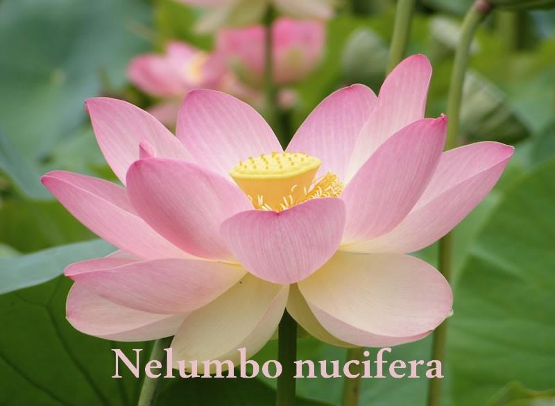nelumbo_nucifera.jpg