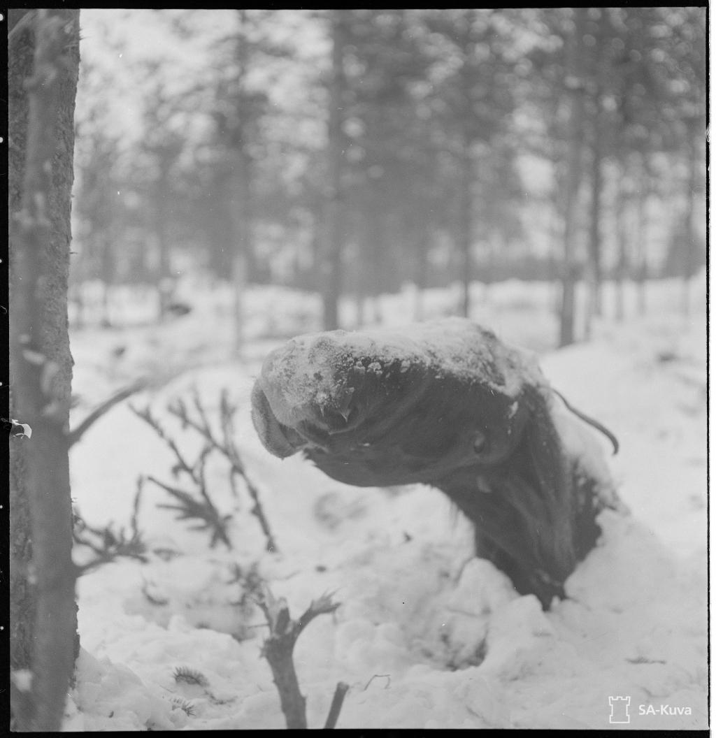 Halálra fagyott ló teteme egy finn erdőségben.