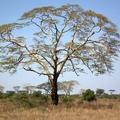 Az afrikai lázfa