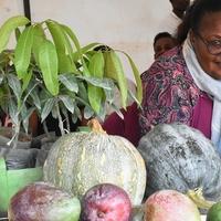 A csökkenő mangótermelés aggasztja a helyi árusokat