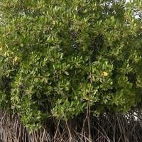 Szenegál több millió mangrove fát ültet az erdőirtás elleni küzdelem érdekében