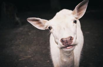 Hogy segíthet egy kecske jobbá tenni a kontented???