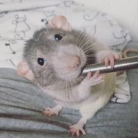 Darius, a patkány, aki megtanult festeni.