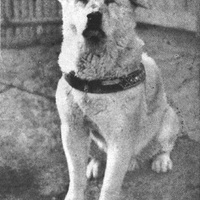 Hacsiko, a leghűségesebb kutya