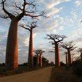A majomkenyérfa vagy afrikai baobabfa.