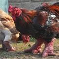 Dong Tao - a sárkány lábú csirke.