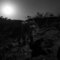 Több mint 100 év után újra láttak fekete leopárdot, Kenyában.
