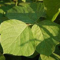 A kudzu növény, csodaszer és átok