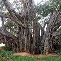 A banyánfa