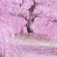 Japánban hivatalosan megkezdődött a tavasz.