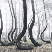 Görbe erdő Lengyelországban