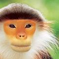 Tarka karcsúmajom, a világ legszebb majma.