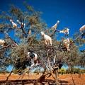 Fákon legelésző kecskék Marokkóban.
