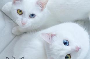 Iriss és Abyss, a világ legszebb cicaikrei.