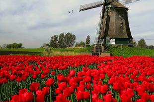 Lenyűgöző szépségű tulipánok Dirk Jan Piersma képein.