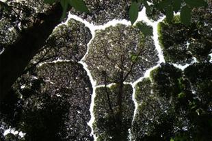 Különös jelenség a fák koronái nem érintkeznek egymással