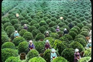 Zöld tea előállítása Japánban a 20. század elején
