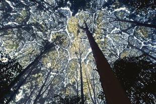Koronafélénkség, amikor a fák lombjai nem érintkeznek egymással.