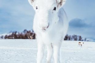 Egy ritka, fehér rénszarvast fotóztak Norvégiában