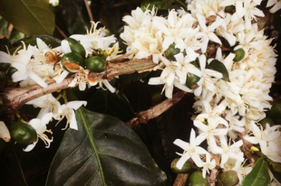 Az Arab kávécserje virága