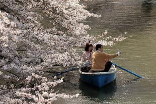 Hanami, gyönyörködés a tavasszal virágzó cseresznyében