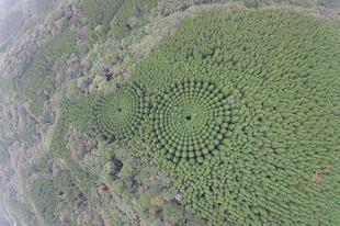 Egy japán erdőben kör alakban nőnek a fák.