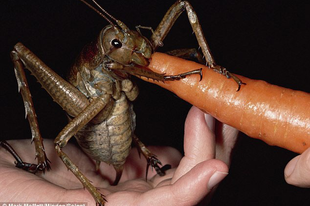 A világ egyik legnagyobb rovarja – a Weta szöcske.