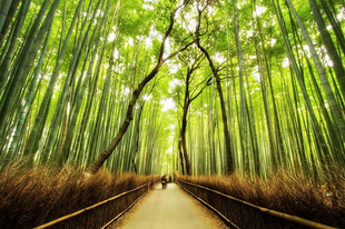 Csodálatos bambuszerdő Japánban