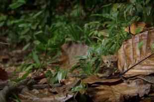 A rozsdafoltos macska