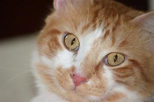 A Manx macska