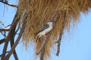 Az Afrikai szövőmadarak látványos fészkei