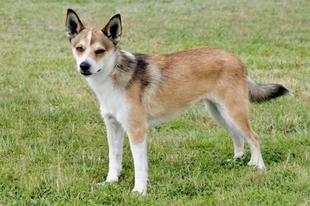 A világ 10. legritkább kutyafajtája