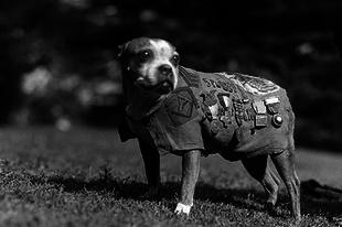 Stubby az első világháború legmagasabban kitüntetett kutyája