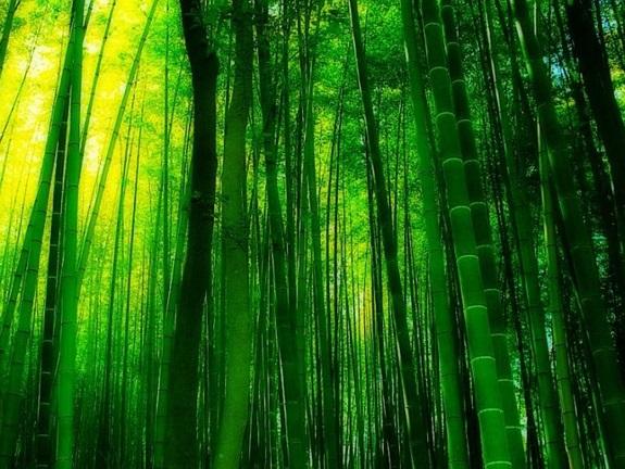 bambuszerdo_2.jpg