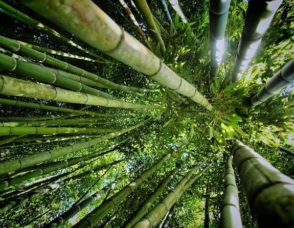 bambuszerdo_9.jpg