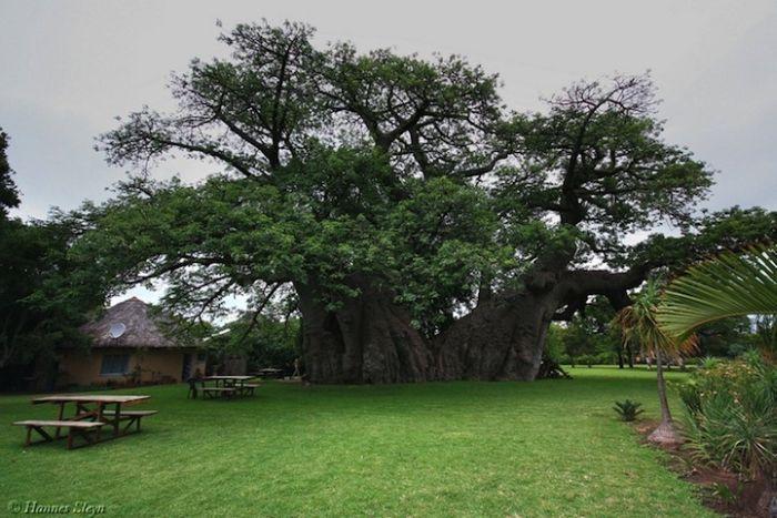 big_baobab1.jpg