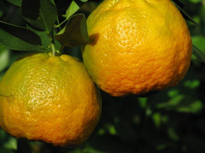 citrom7.jpg