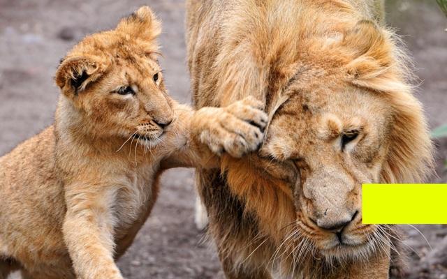 oroszlánok.jpg és Sárga téglalap (részlet)
