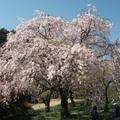 Az a bizonyos cseresznyefa virágzás