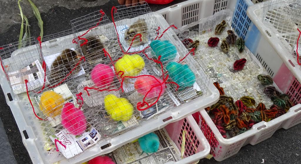A kiskutya, nyuszi és egyéb cukiságok itt már nem menők. Vegyen inkább festett csirkét a gyereknek! Nem viccelek, ezek elő csirkék festve. Eszembe jutott, hogy megkérdezem mennyire állja a szín az esős időszakot de inkább hagytam.