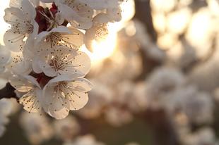 Az igazi tavasz: barackvirágos