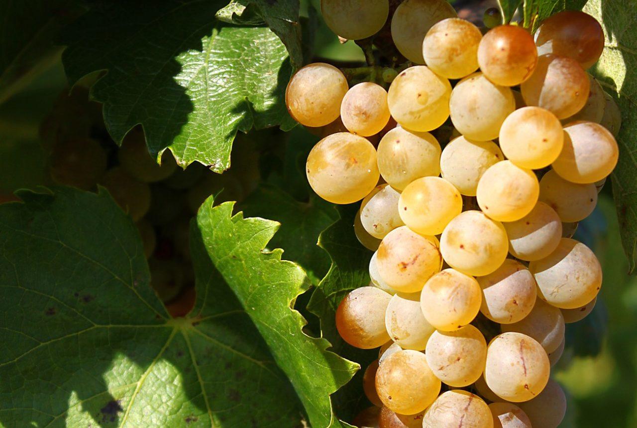 furmint_grape_cluster-e1485944042481-1280x859.jpg