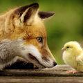 A rókára bízzák a tyúkól felügyeletét?